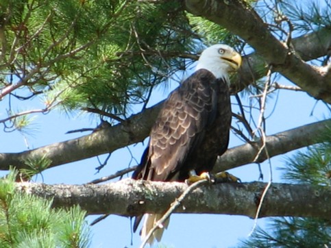 Bald-Eagle-on-Hammilton-Reservoir